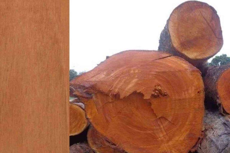 Mogno: conheça todas as características deste tipo de madeira