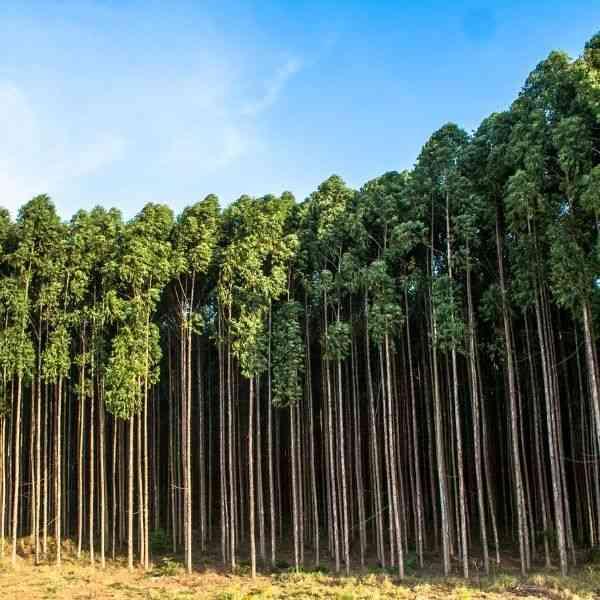 madeira de reflorestamento eucalipto