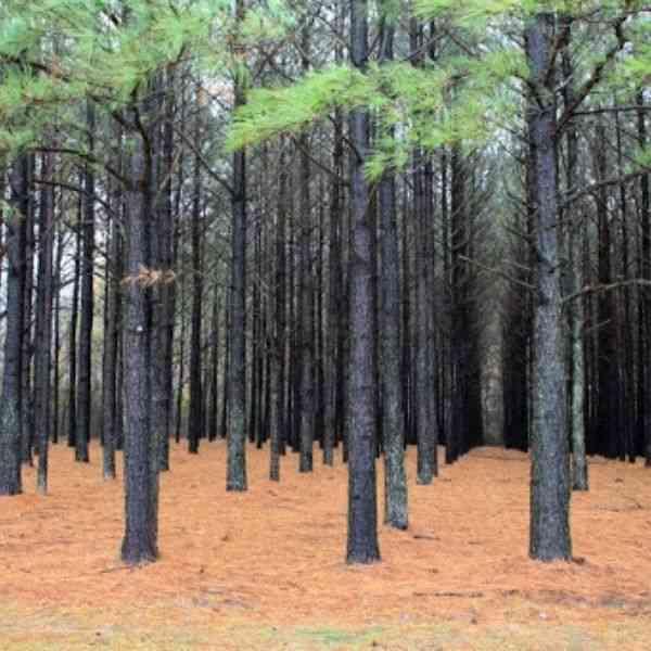 madeira de reflorestamento pinus
