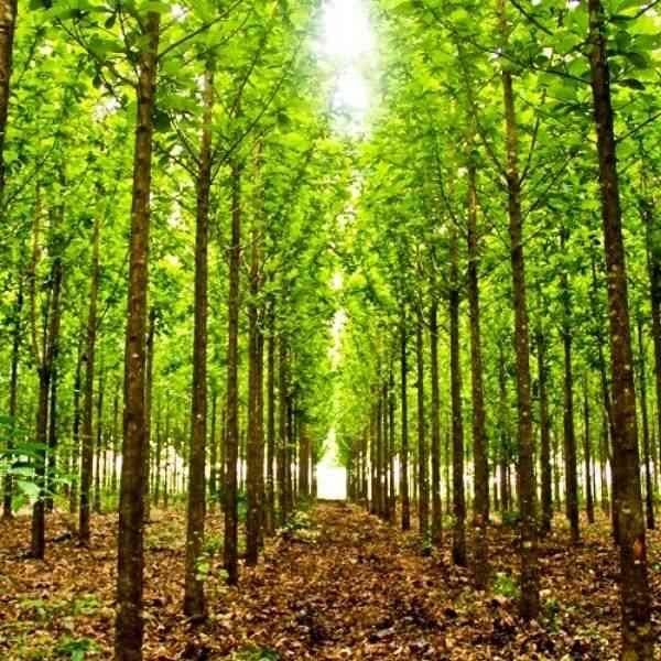 madeira de reflorestamento teca
